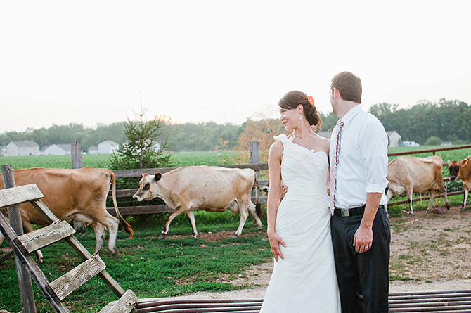 wedding couple and cows